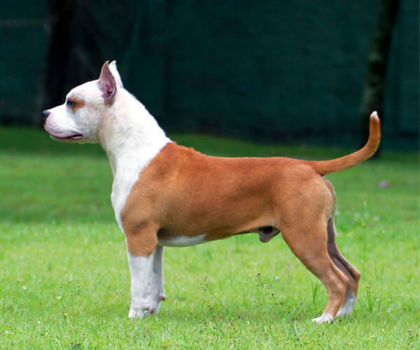American Staffordshire Terrier Santo