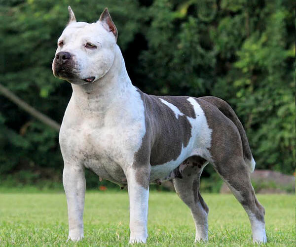 Thamy Canil Camarilha American Staffordshire Terrier